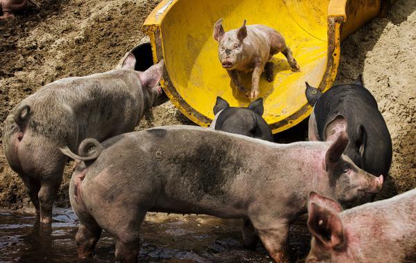 Александр Бродовский. Как я замещал импорт свинины