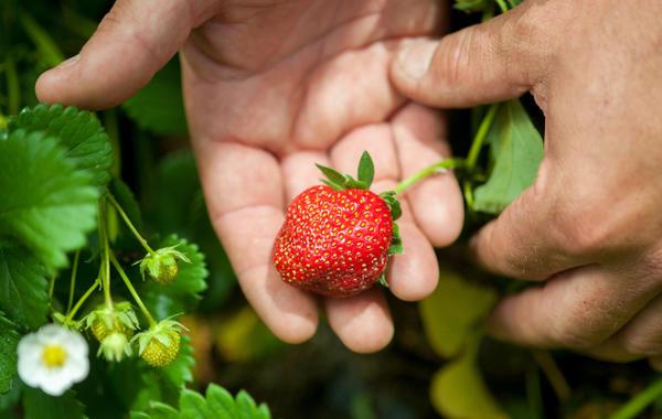 Битва за урожай: Учёные Driscoll's создают суперклубнику будущего