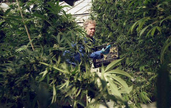 Израиль обещал бизнесу разрешить экспорт марихуаны, и вот что случилось дальше