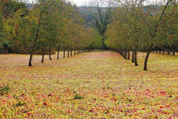 Вглобальной паутине появилось фото яблочного ковра вИрландии после урагана «Офелия»