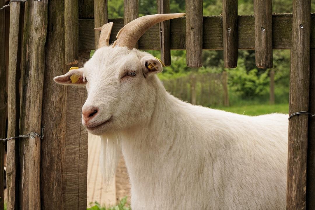 Британка заработала $68 000 на продаже видеозвонков с козами. Их заказывали для совещаний и уроков