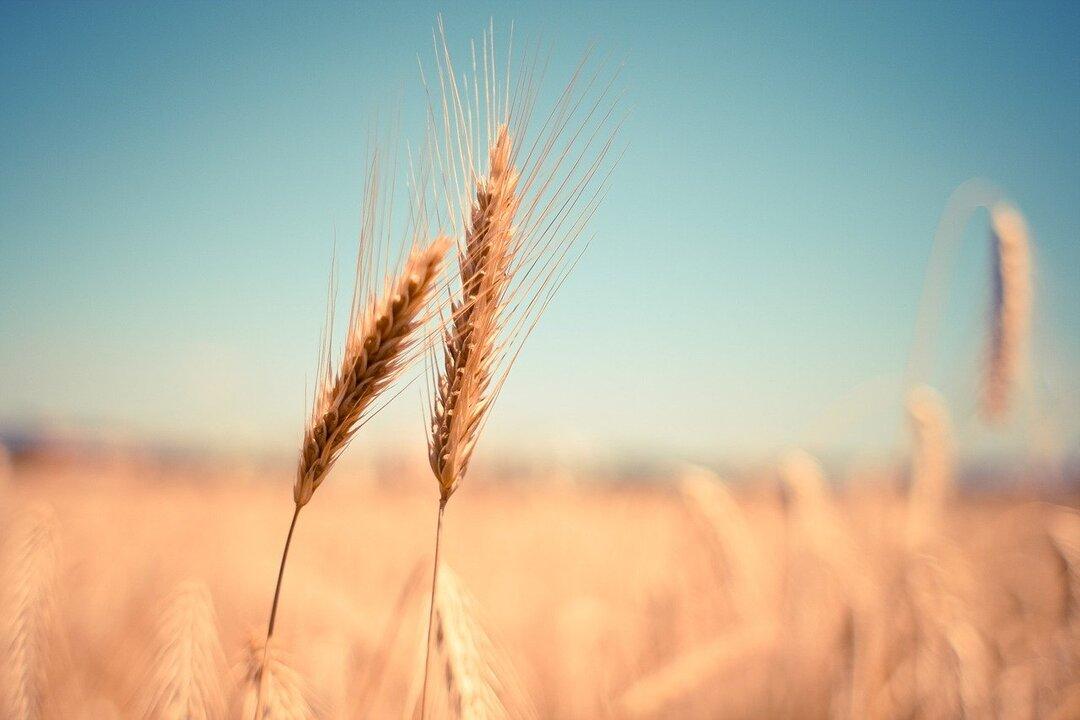 Закупать пшеницу не готов никто. В России почти остановился экспорт зерна